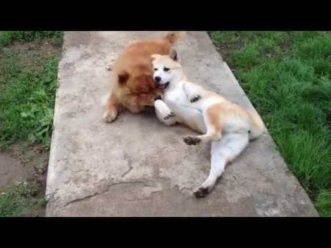 A Japanese Akita Inu and a Chow-Chow playing
