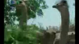 Ostrich farming in Pakistan.. KhosaBoss channel