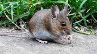 Wood Mouse In My Garden...