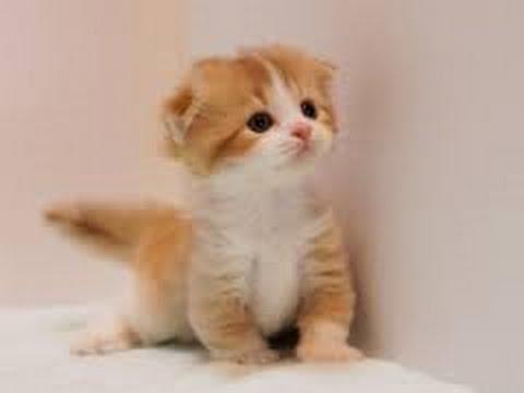 マンチカン 子猫画像☆ ~ かわいい子猫ちゃんがたくさん♪ ~