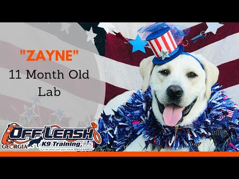 Zayne | 11 Month Old Labrador Retriever | Board and Train Program Duluth Georgia