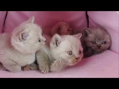 Маленькие смешные британские котята - коты и кошки 2019 - приколы с котами