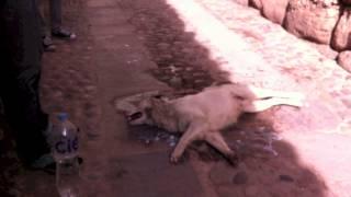 CUSCO DOG CRUELTY