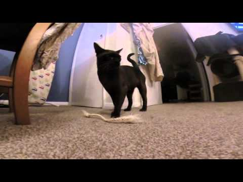 Burmese cat fetch