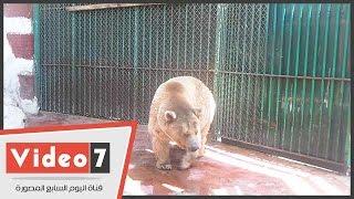 لأول مرة .. ظهور الدب القطبى فى حديقة الحيوان بالجيزة