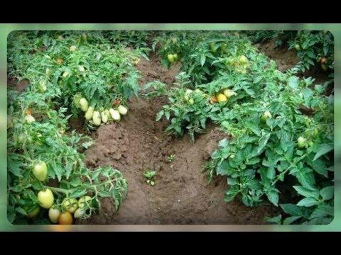 Вкусные сорта томатов, которые выращиваем без пасынкования