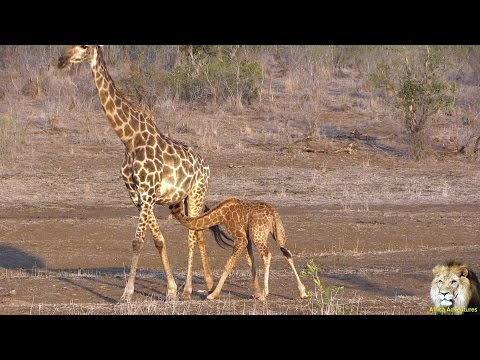 Thumbnail: Very Cute. Baby Giraffe Nursing