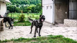 Steelblood Kennel SBK9 Breeding Station of American Bandog Mastiffs ( Bandogge) Ukraine