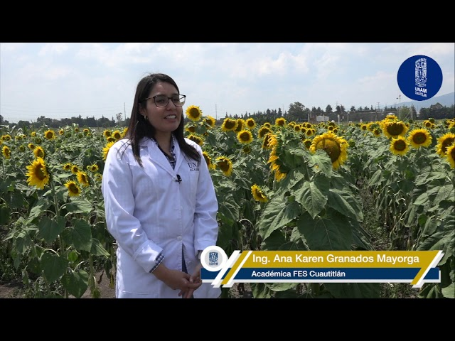 Nuevas directrices sobre  el estudio de cultivo de girasol