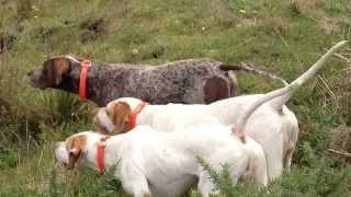 English pointer hunting ireland