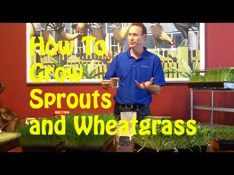 How To Grow Sprouts and Wheatgrass