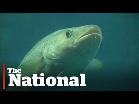 Newfoundland Cod Fishery: Lessons Not Learned?