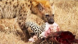 ヒエナはヒョウを食べる|ハイエナ対ヒョウ ヒエナはヒョウを食べる|ハイ...