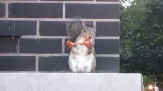 Squirrel Eating Chicken Wing