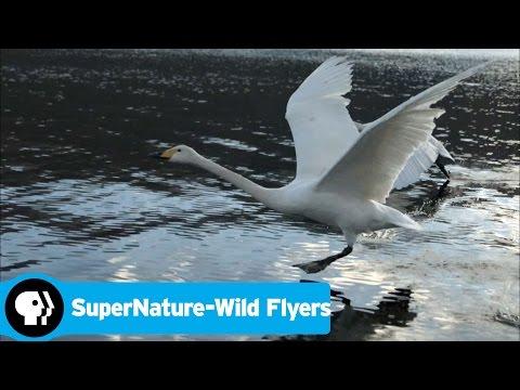 SUPERNATURE - WILD FLYERS   Swan Take Off   PBS