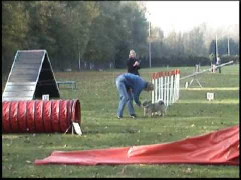 Ronja the Swedish Vallhund doing agility