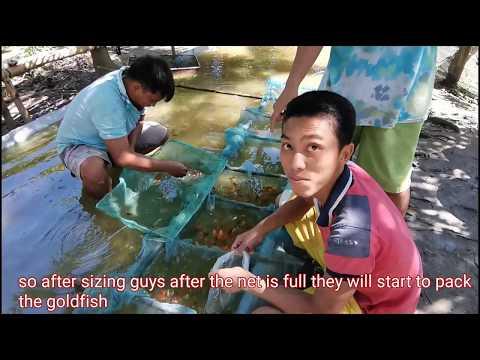 Goldfish Harvest In Mud Pond Complete Process (TagLish W/ Eng Subtitle)
