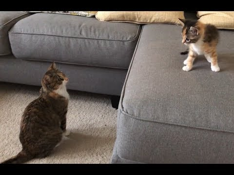 Cats Reacting To The New Kitten