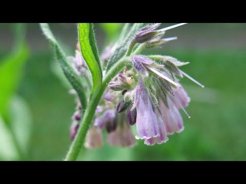 La consoude, la plante cicatrisante par excellence !