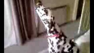 Poppy The Singing Dalmation