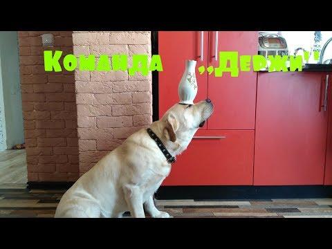 Вопрос: Как научить собаку держать предмет?