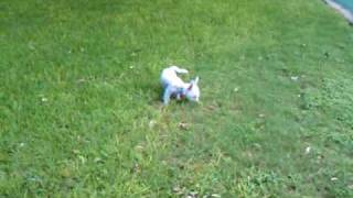 Utah My Westie Scratching His Back