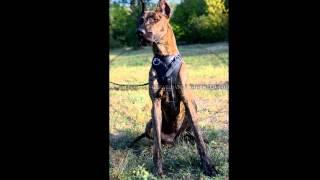 Немецкий Дог/Great Dane (порода собак HD slide show)!