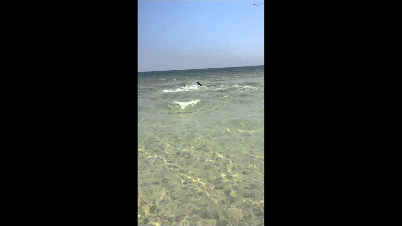 Giant hammerhead shark chasing stingray on pensacola beach for Pensacola beach fishing