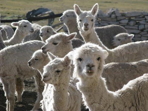 Crianza de alpacas en Peru-Breeding Alpacas ENG SUB - TvAgro por Juan Gonzalo Angel