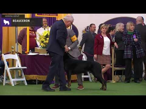 Beauceron   Breed Judging 2020