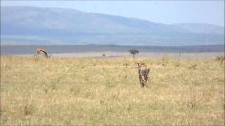 Cheetah Stalking Gazelle