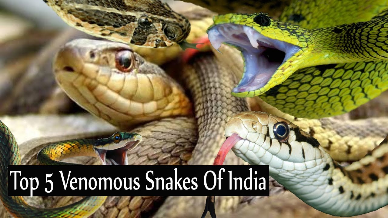 Top 5 poisonous snakes in india  know the variety of snake in india देखिये  भारत के ज़हरीले साँप।