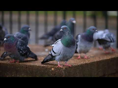 Pigeons Sound | Free Sound Effects | Animal Ringtones