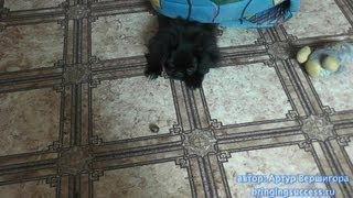 черный пекинес щенок играет и смешно прыгает с желудем funny puppy