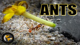 Soothing Ant Invasion 4k