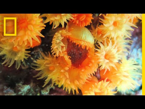 Corals Collaborating To Eat Jellyfish: First-Ever Video | National Geographic