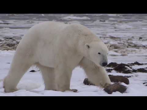 Polar Bears behaviour, Hudson Bay, Churchill and Dymond lake. Share if you like it.