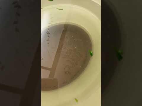 Dirty water from washing marijuana
