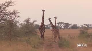 WILDLive! - Tanzania - Girafes - S03 E02