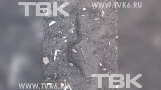 Красноярка едва не наступила на змею во время бега в Академгородке