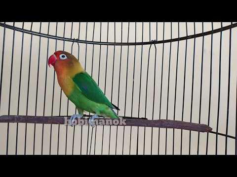 Emosi tinggi.!!!Lovebird macet bisu langsung respon nyaut dengar suara ini