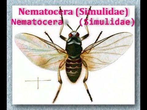 Nematocera: Family Simulidae