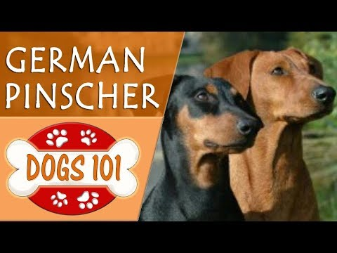 Dogs 101 - GERMAN PINSCHER - Top Dog Facts About the GERMAN PINSCHER