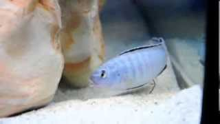 Пиндани - небольшая рыбка для аквариума купить