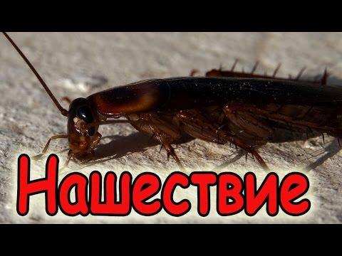 Тараканы Летающий таракан Таиланд 2017 Хуа Хин Cockroaches Flying-cockroach 2017 Thailand, Hua hin