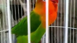 Gambar cover Love Bird Cerewet Ngekek Panjang !!! Ampuh Pemancing Love Bird