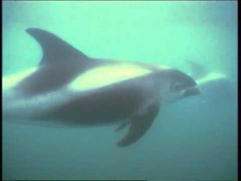 White-beaked Dolphin Species Identification