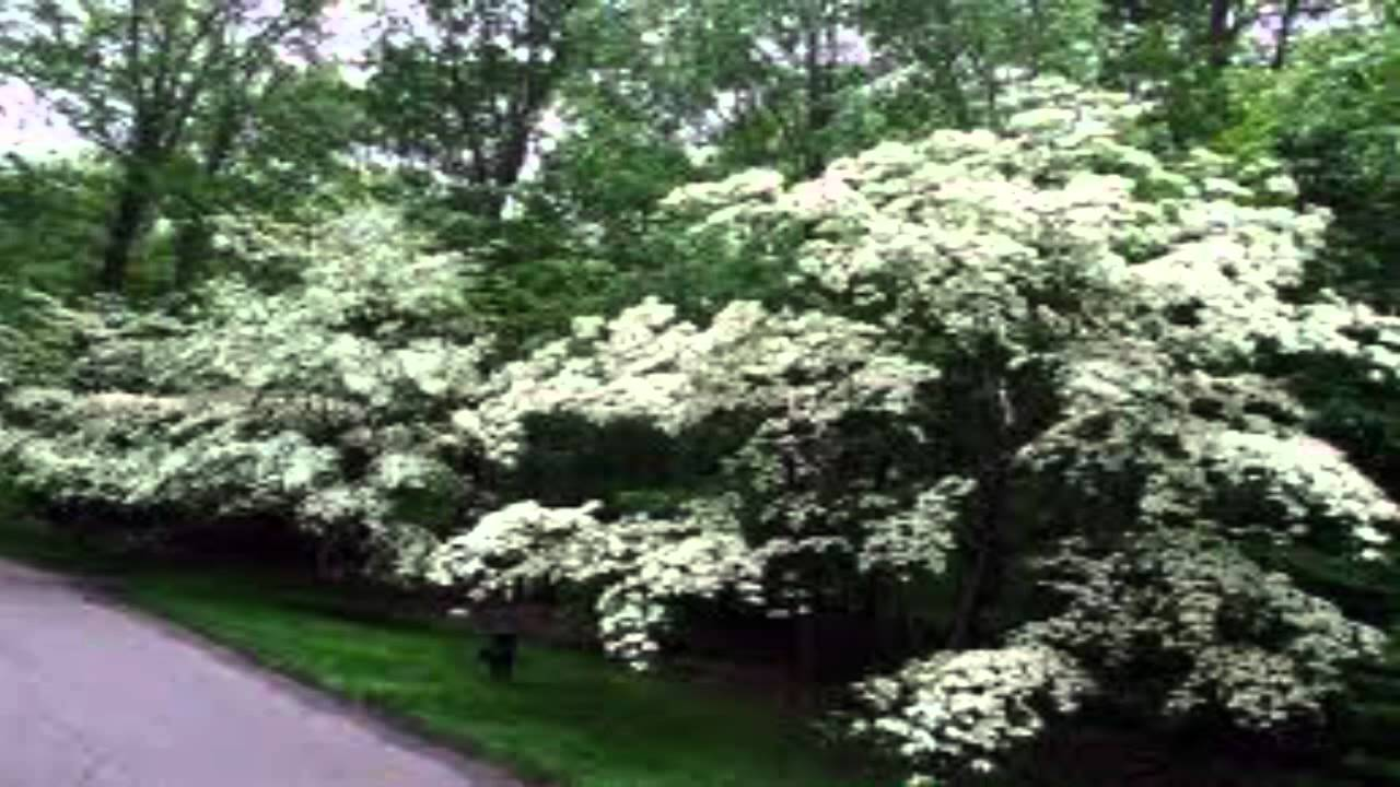 White Flowering Dogwood For Sale Youtube