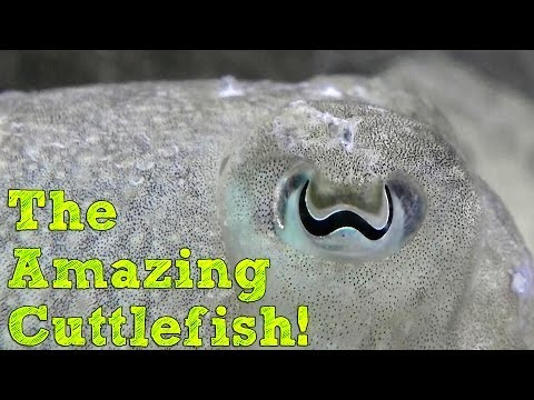 The Amazing Cuttlefish! (Facts)