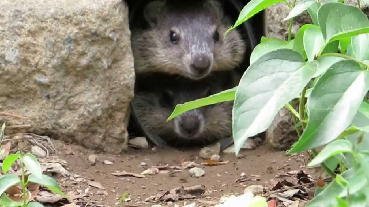cute baby groundhogs youtube